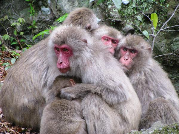 Shodoshima,-Japan-Monkeys-7