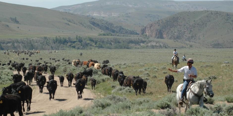 Bitterroot-Ranch-cattle-drive-1200x600